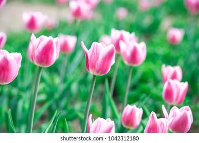 Pink tulips, nature, landscape