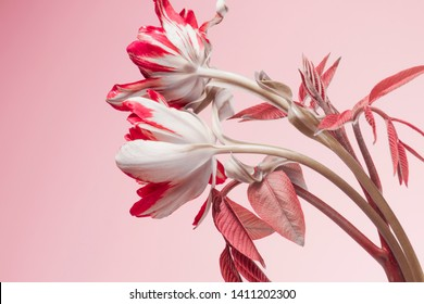 pink tulips on a pink background, two flowers.