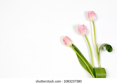 pink tulips on blue background as a card