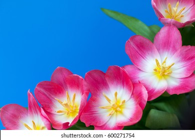pink tulips on blue background with copy space for text, vintage, top view