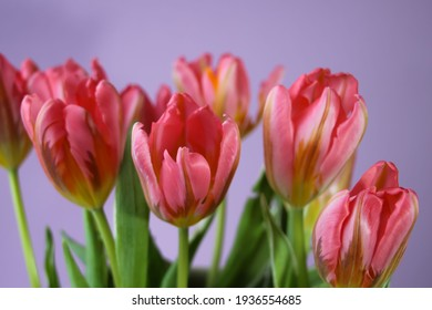 Pink tulips on a lilac background for a banner