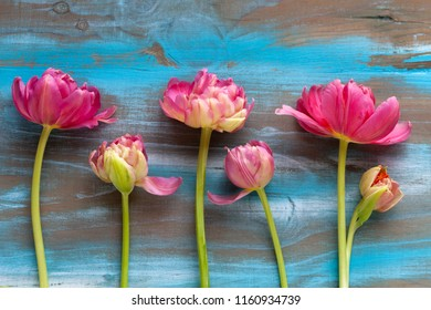 Pink tulips on shabby chic teal wooden background