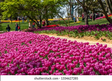 Pink tulips on the Tulip Festival in Emirgan Park. Blurred background.