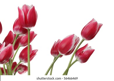 Pink tulips on a white background.Clipping path