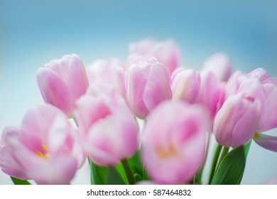pink tulips on the white and blue background, womans day,  card with spring flowers