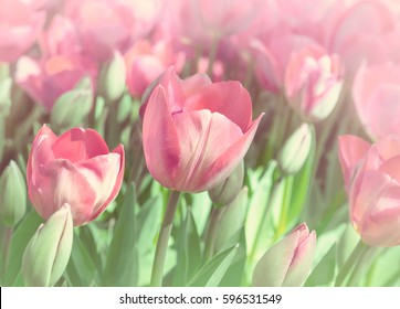 Pink tulips in pastel colors - spring flowers close-up in the garden at soft focus. Tulips on a flowerbed  closeup - garden flowers in red and green colors.