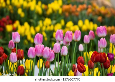 Pink tulips in pastel coral tints at blurry background, closeup. Fresh spring flowers in the garden. Colorful tulips in the flower garden.Design for greeting card or banner for flower shop.