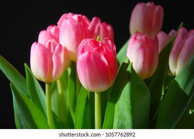 Pink tulips, spring season flowers