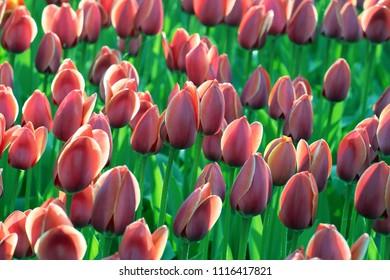 pink tulips in sunlight