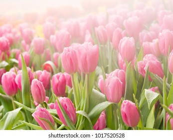 Pink tulips with water drop : Selective focus.