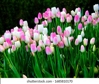 Pink tulips, white flowers in the garden