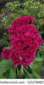 Pink velvety, brain-like, flat-topped, contorted, convoluted flower head.  Celosia cristata.  Magenta Wool Flower.  Brain Celosia.