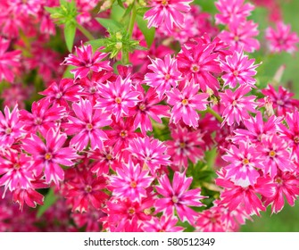 Pictures of verbena flowers