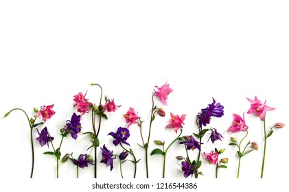 Pink and violet flowers columbine ( Aquilegia vulgaris, granny's bonnet ) on a white background. Top view, flat lay