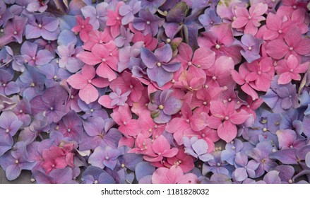 pink and violet hortensia flowers in closeup