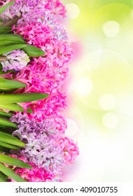 Pink and violet hyacinths flowers row over green garden background