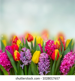 Pink and violet hyacinths with tulips fresh flowers border on blue background with copy space
