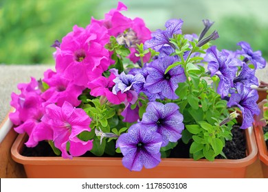 Pink and violet Petunia Petunioideae flowers macro closeup as a background. Selective focus. Image full of colourful petunia (Petunia hybrida) in the pot