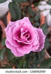 Pink violet rose