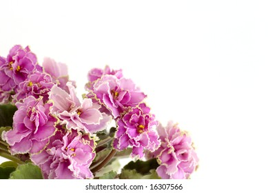 Pink violets by closeup against the white background