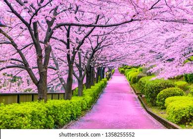 Pink walkway under cherry blossoms spring or sakura tree in tokyo Japan