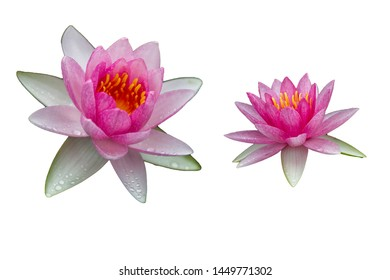 Pink water lilies, isolated on a white background