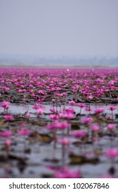 pink water lilies on the lake