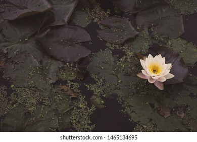 Pink water lilies in summer pond faded. Blooming lotus with big leaves filtered. Summer nature concept. Swamp land nature. Beautiful waterlily in river.
