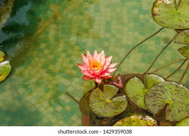 Pink water lilly in a water pond during a sunny day offers romantic and lovely feeling