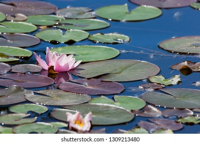 A pink water lily bloom growing among floating round lily pad leaves in a shallow pond.