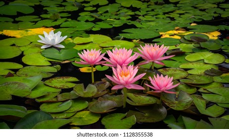 Pink water lily blossoms on a bed of green lily pads