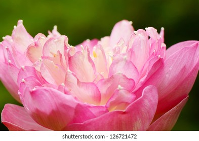 Pink water lily close-up.
