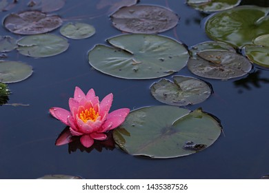 Pink water lily floats on the water