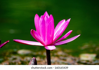 Pink water lily flower in bloom