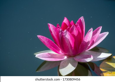 Pink water lily flower, Nymphaea lotus, on a dark water background. Nymphaea sp. hort., in the pond