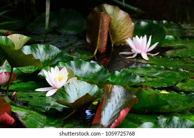 Pink water lily flowers