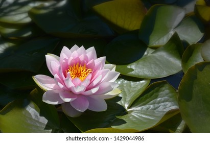 pink water lily in the garden pond