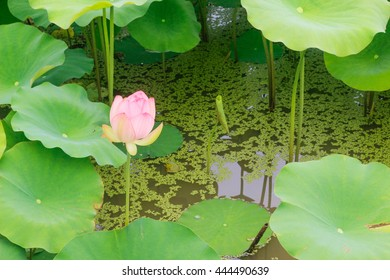 Pink water lily and green leaf plants in a pond