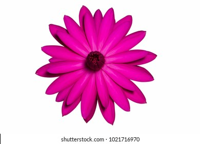 Pink water lily isolated.