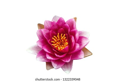 Pink Water lily isolated on white background. Nymphaea purple flower cutout