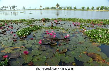 Pink Water Lily at Kuttanadu,Kerala