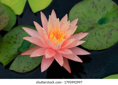 Pink water lily and leaves close-up