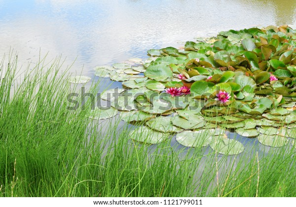 Pink water lily leaves and flowers in pond with copy space for text.