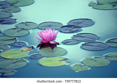 A pink water lily, lilies floating on water