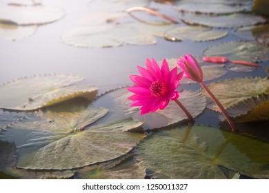 pink water lily lotus