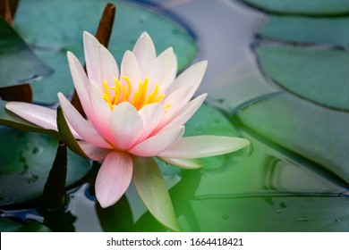 Pink water lily or lotus flower Marliacea Rosea in garden pond. Close-up of Nymphaea on blurry green pond water. Flower landscape for nature wallpaper with copy space. Selective focus