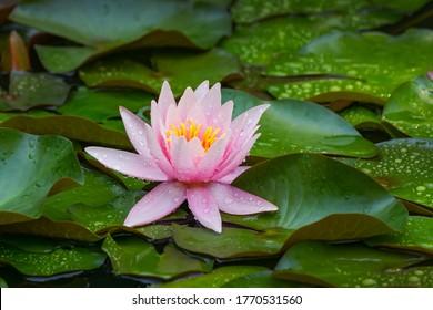 Rosa Wasserlilie oder Lotusblume Marliacea Rosea im Gartenteich. Nymphaea mit Wassertropfen im Gartenteich. Blumenlandschaft für Naturhintergründe mit Kopienraum. Selektiver Fokus