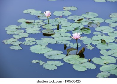 pink water lily and lotus in lake