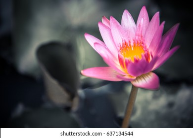 Pink water lily on dark blurred background of green leaves with copy space as zen spa background