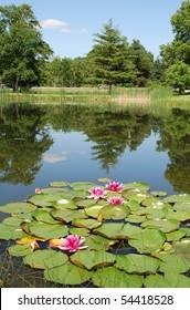 Pink Water Lily, Ontario Lake